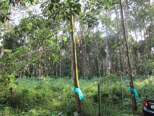 1 70 Acre Rubber Plantation For Sale At Kanjirappally To