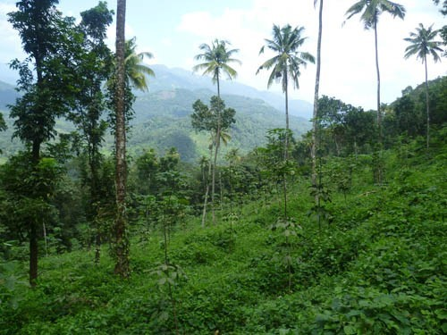 2 Acres Of Rubber Plantation For Sale At Muttom Thodupuzha