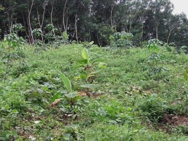 Rubber Plantation with newly planted rubber